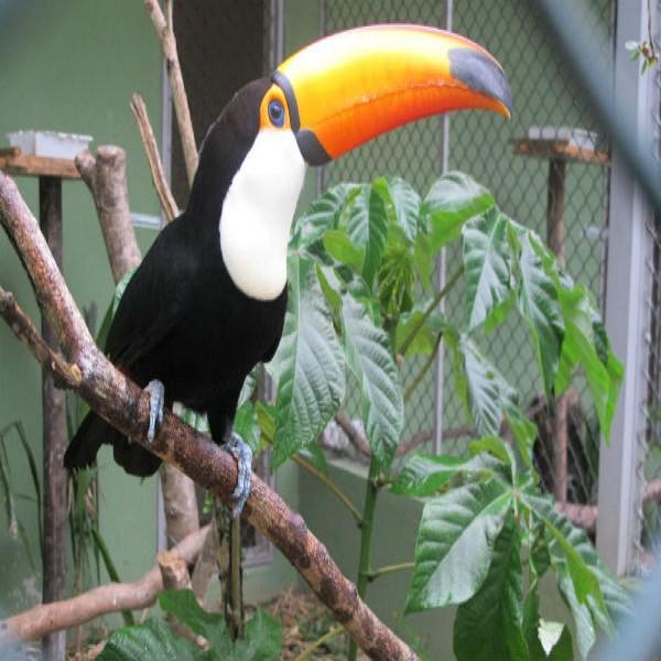 130348 tucano zoológico rio de janeiro 600x600 Zoológico do Rio de Janeiro, Preço, Telefone, Horário