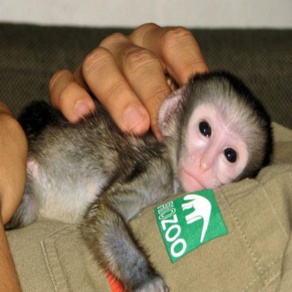 140548 animal silvestre macaco doméstico 600x600 Doação de Animais Silvestres