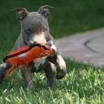 1625 Pitbul o0 150x150 Fotos de cães da raça Pitbull