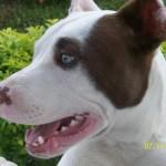 1625 filhote pitbull 150x150 Fotos de cães da raça Pitbull