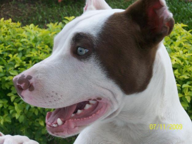 1625 filhote pitbull Fotos de cães da raça Pitbull