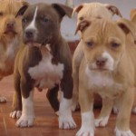 1625 pitbull 150x150 Fotos de cães da raça Pitbull