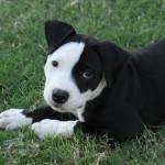 1625 pitbull filho 150x150 Fotos de cães da raça Pitbull