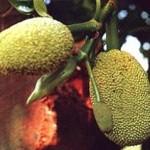 17109 jaca 10 150x150 Jaca: Fruta Rica em Saúde