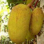 17109 jaca 4 150x150 Jaca: Fruta Rica em Saúde