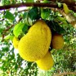 17109 jaca 5 150x150 Jaca: Fruta Rica em Saúde