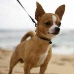 Chihuahua (Foto: Divulgação)