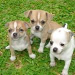 Fotos de cachorros de raça
