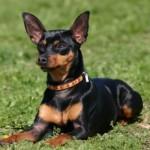 O Pinscher é um cãozinho que adora latir. (Foto: Divulgação)