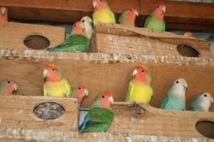 Como Tirar Licença Para Criar Pássaros