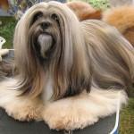 raça-de-cachorro-lhasa-apso