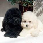 Raças de cachorros pequenos 2