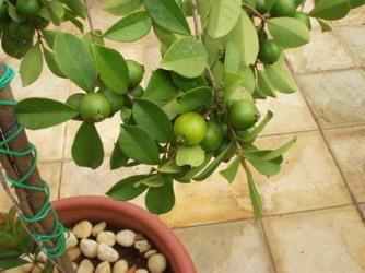 Aprenda a Criar Árvores Frutíferas em Vasos