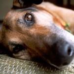 Como socorrer cachorro com convulsões