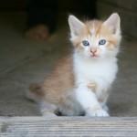 Gatinho dos olhos azuis (Foto:Divulgação)