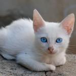 Gato da raça Turkish Van  (Foto:Divulgação)