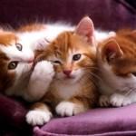 Três gatinhosda raça Manx (Foto:Divulgação)
