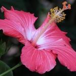 Flor de Hibrisco (Foto:Divulgação)