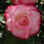 Rosa cor branco com rosa (Foto:Divulgação)
