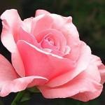 Rosa cor de rosa (Foto:Divulgação)