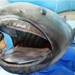 Tubarão Mega Boca (Foto:Divulgação)