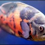 Peixe de Cores Mescladas (Foto:Divulgação)