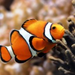 Peixe Palhaço - exótico pelas cores laranja e branco (Foto:Divulgação)