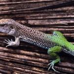 Lagarto da cauda verde (Foto:Divulgação)