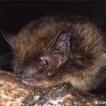 Rattus Macleari, extinto no começo do século passado (Foto:Divulgação)