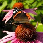 Borboleta pousando na flor (Foto:Divulgação)