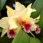 Orquídeas amarela e rosa (Foto:Divulgação)