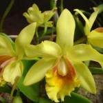 Orquídeas amarelas (Foto:Divulgação)