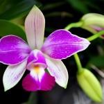 Orquídeas roxa (Foto:Divulgação)