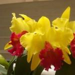 Orquídeas amarelas e vermelhas (Foto:Divulgação)