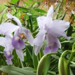 Orquídeas lilás (Foto:Divulgação)