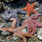Estrelas do mar (Foto:Divulgação)