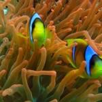 Peixes que vivem na anêmona (Foto:Divulgação)