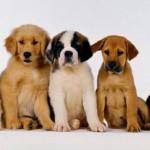 Doação de cães de raça em SP, e RJ