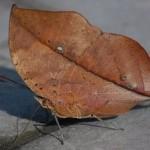 As vezes fica imperceptível e não dá para saber se é um animal ou uma folha seca.