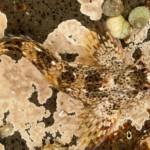 Até no fundo do mar há necessidade de camuflagem.
