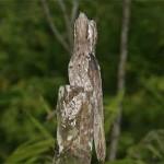 Em todas as especies de animais existem os que se camuflam como as aves, veja este pássaro.
