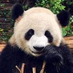 Urso Panda.