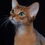 abissinio-raca-de-gatos