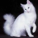 angora-branco