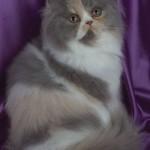 gato-de-raça-persa