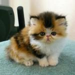 gato-exotico