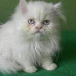 gato-persa-branco