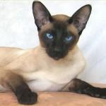gato-siames-1