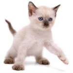gato-siames-3