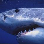 Tubarão touro é muito perigoso  (Foto:Divulgação)
